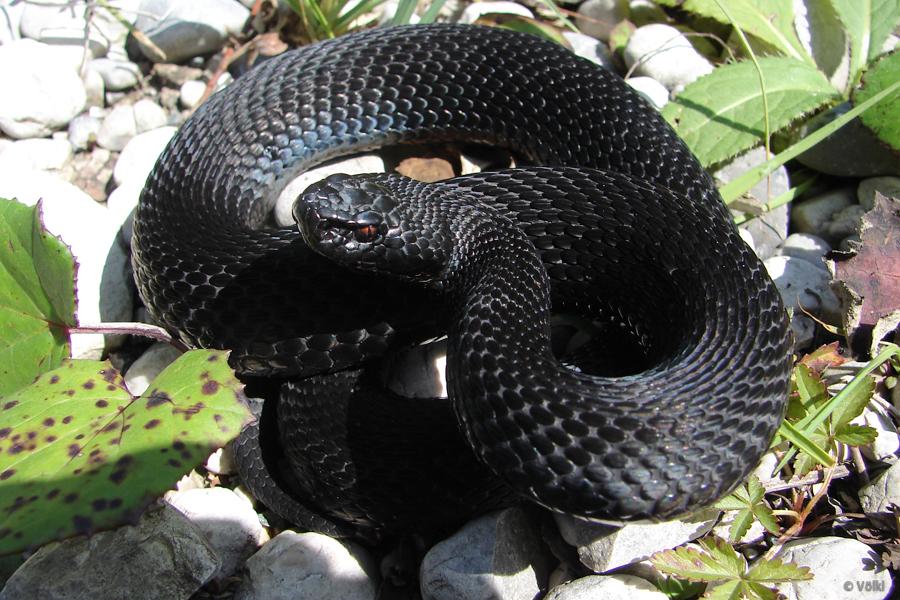 schlangen ringelnatter giftig